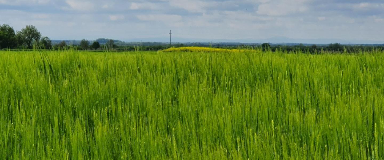 tovarnik-proljece-trava